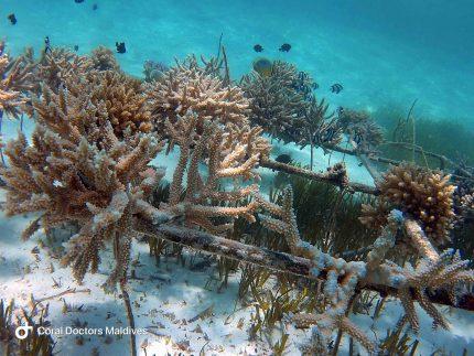 Coral Doctors Maldives